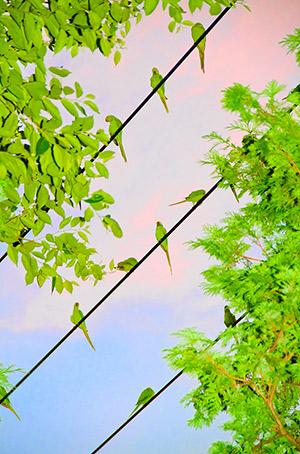 athina-kai-tokio-gemisan-papagalus-2