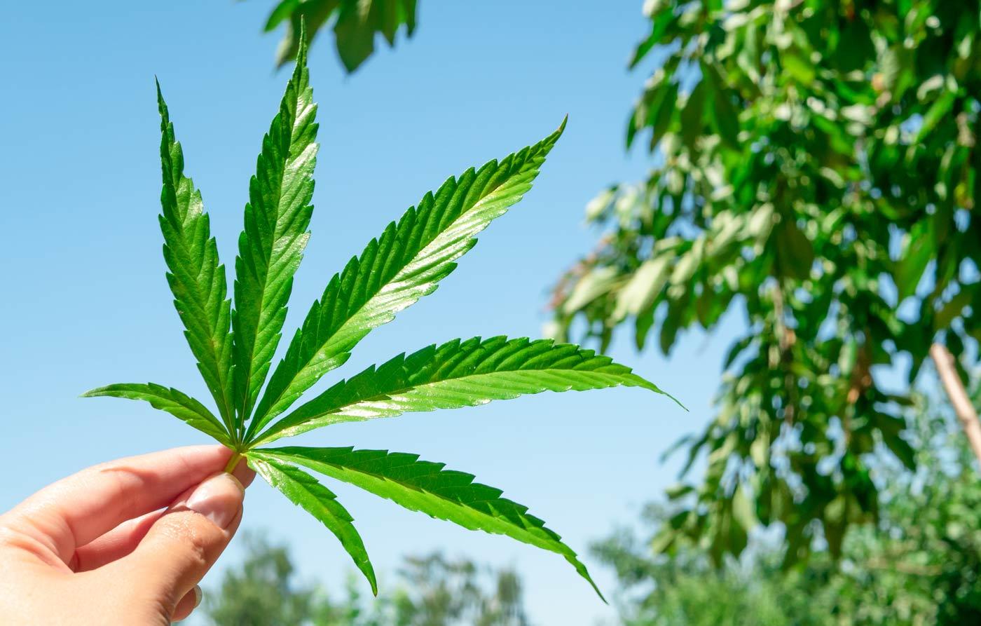 Κάνναβη, ένα εξαιρετικό θεραπευτικό βότανο