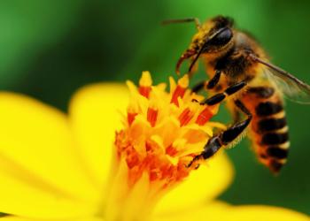 Τα λουλούδια χρησιμοποιούν ηλεκτρικά σινιάλα για να έλξουν μέλισσες