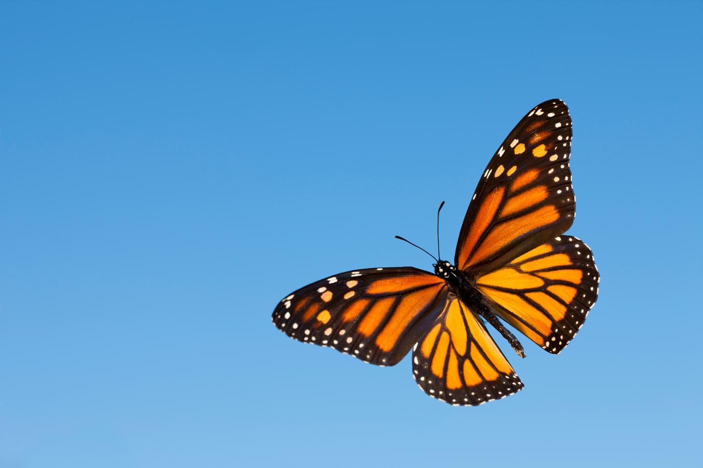 Πεταλούδα Μονάρχης: Ένα εντυπωσιακό μυστήριο