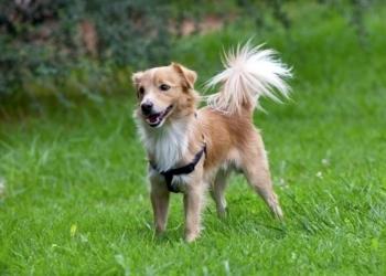 Κοκόνι, ένας αρχαίος ελληνικός σκύλος | Όλα όσα πρέπει να ξέρεις